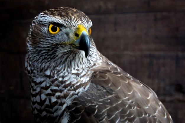 タカのクローズアップ。猛禽類の肖像画。野生動物。