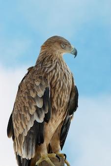 A hawk eagle on the blue sky background.
