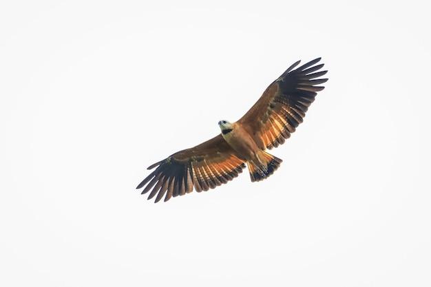 Hawk in flight seeking its hunt Premium Photo