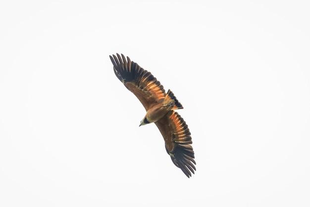 Hawk in flight seeking its hunt