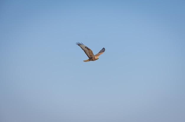 Ястреб, летящий высоко в голубом небе