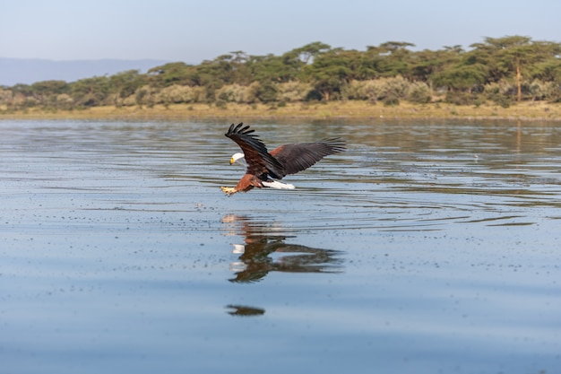 Hawk flying over water