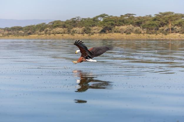 Falco che vola sopra l'acqua