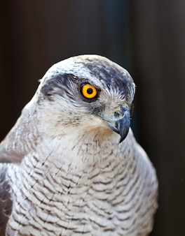 Hawk goshawk head