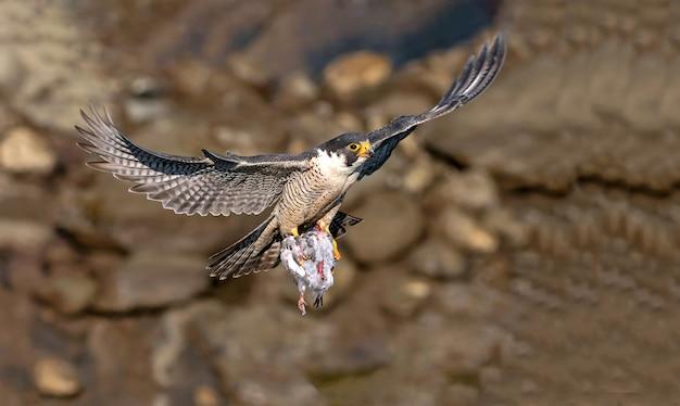 鉤爪に魚がいる飛行中のタカ、タカの狩猟餌、一般的なタカの狩猟