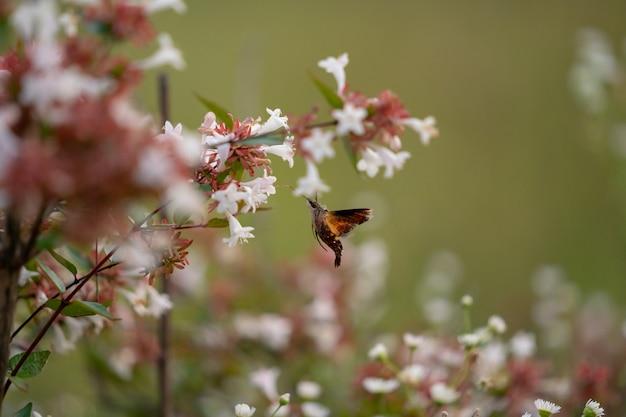 鷹の蛾が花の周りをホバリング