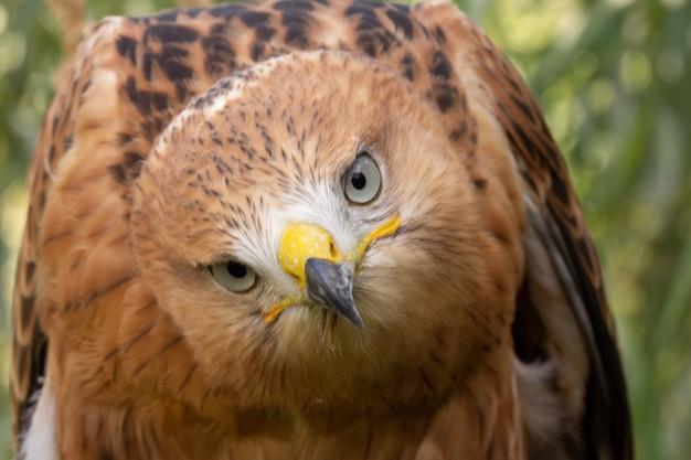 選択的なソフトフォーカスを持つ鷹の肖像画