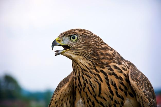 Hawk portrait.