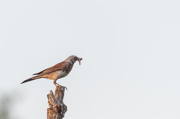 Hawk on a pstick