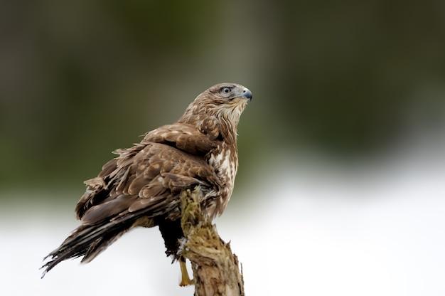 Ястреб сидит на еловой ветке в зимнее время. сцена дикой природы из снежной природы. хищная птица со снегом. зима с ястребом в лесу