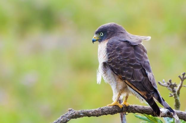 ブラジルの湿地の木のホーカウク鳥