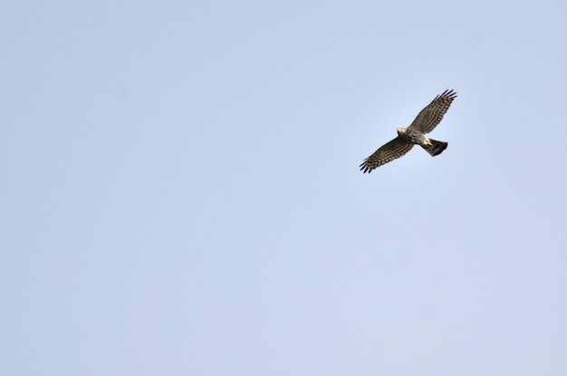 Hawks fly