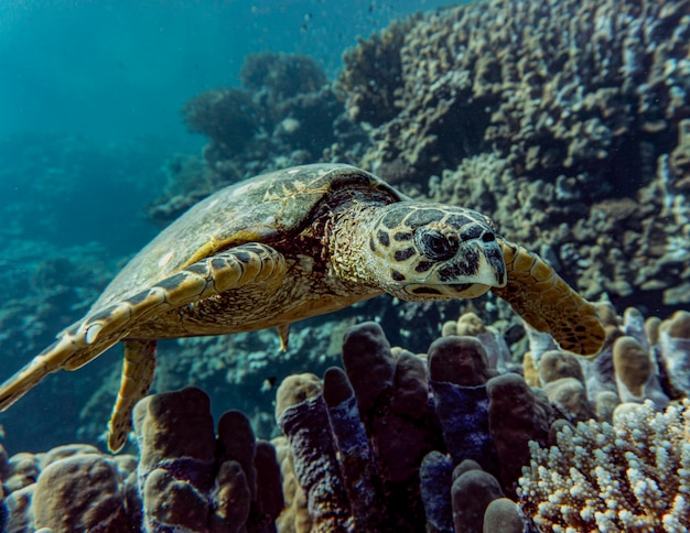 Hawksbill sea turtle or eretmochelys imbricata swims on a coral reef