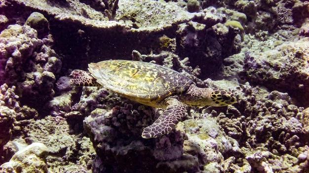 인도양 - 몰디브에 있는 매부리 바다거북.