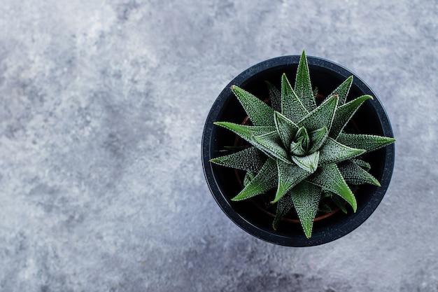 Haworthia attenuata, haworthia, zebra cactus.