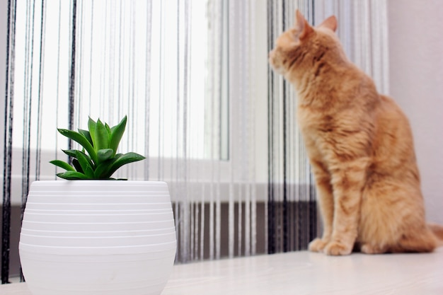 Haworthia cymbiformis와 창 밖을 바라 보는 빨간 고양이