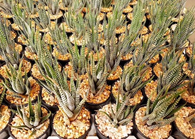 Haworthia fasciata в горшке на ферме декоративных растений
