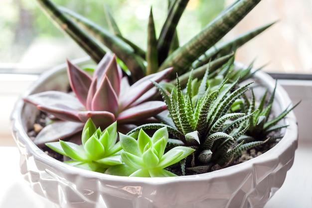 セラミックの白い植木鉢にさまざまな多肉植物(エケベリアレッドおうし座、haworthia fasciata、sansevieria cylindrica)の組成