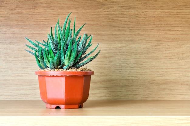 Haworthia fasciata , succulent plant on wooden shelf