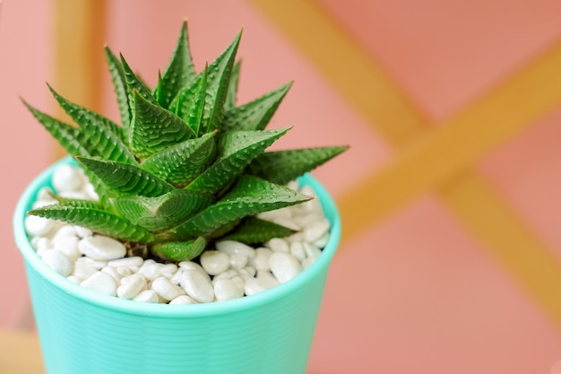 Haworthia on pastel pink background. succulent plant in blue pot.