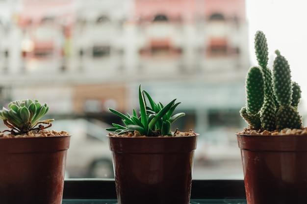 Haworthia in small pot on the edge of windows.