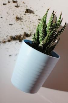 Хавортия сочная в синем горшке на белом фоне. уход за растениями, пересадка домашних растений, хобби