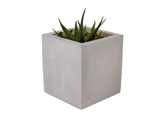 Haworthia多汁的自然庭院集装箱植物地方性南部的在白色背景隔绝的灰色圆的混凝土大农场罐的非洲。特写。选择性焦点。复制空间