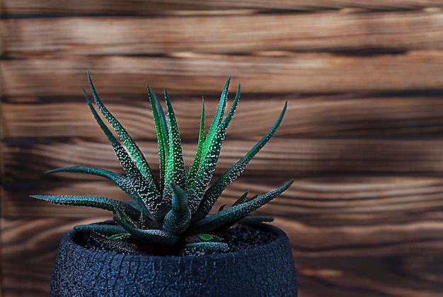 Haworthia succulent on a wooden table