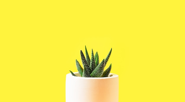 Haworthia succulent yellow background