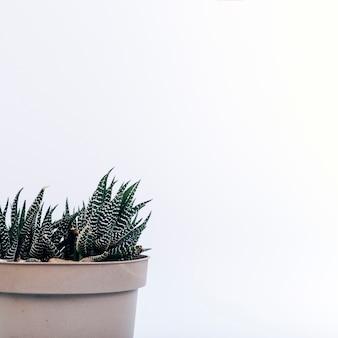白い背景の上の魅惑的なhaworthia鉢植えの植物のクローズアップ