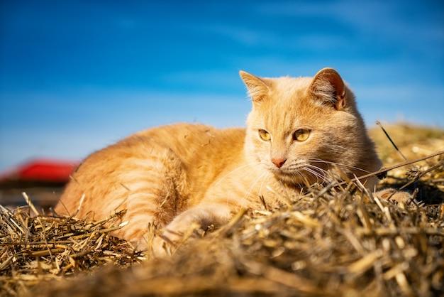 Hayloftのクローズアップの上に横たわる美しいふわふわ赤猫