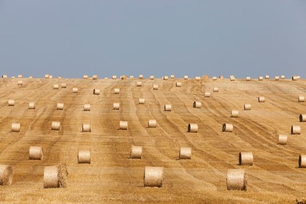 藁畑の干し草藁小麦の浅い被写界深度を収穫した後に残った藁の干し草