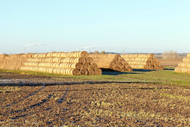 Haystacks piled straw after harvest in the agricultural field. photo in the autumn season