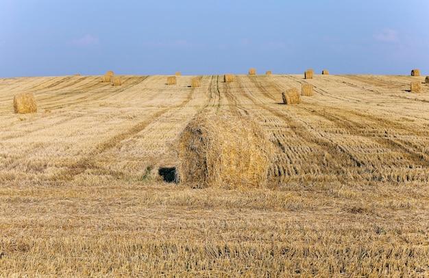 수확 후 농업 분야에 누워 건초 더미 짚.