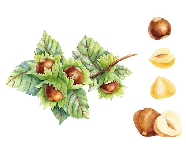 Акварельные иллюстрации ветви фундука с семенами, изолированными на белом