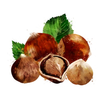Hazelnut. watercolor illustration