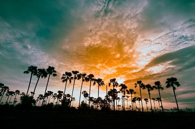 初期の美しい夜明けの間にフィールドのパルミラパームまたはトディヤシの木のhdr