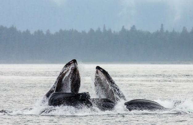 머리와 혹등 고래의 입 위의 수면 클로즈업 사냥시. 채텀 해협 지역. 알래스카. 미국.