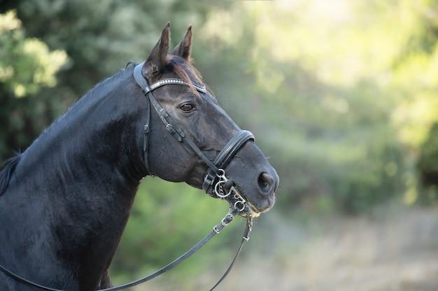 Head of black stallion