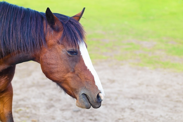 Head of brown horse on pasture on grass