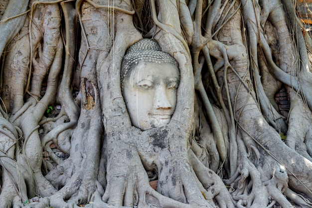 Head budda status in tree roots at thailand