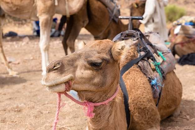 The head of a camel