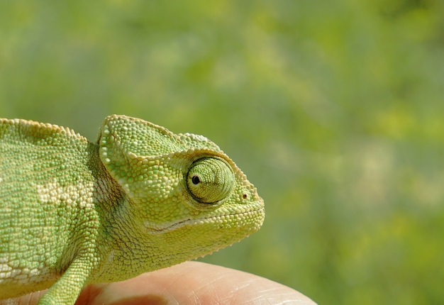 Head of chameleon closeup on a green background