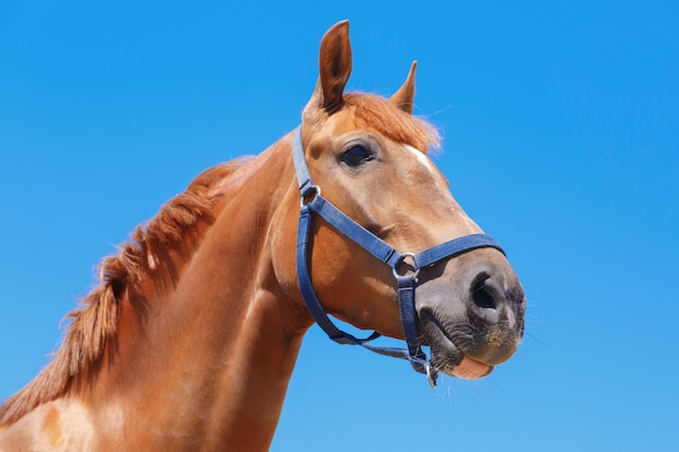 Head of the chestnut horse on the blue sky