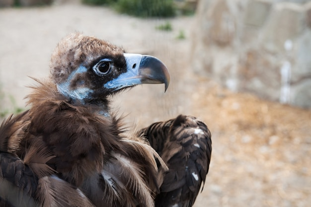 The head of cinereous vulture, the black vulture, monk vulture, or eurasian black vulture