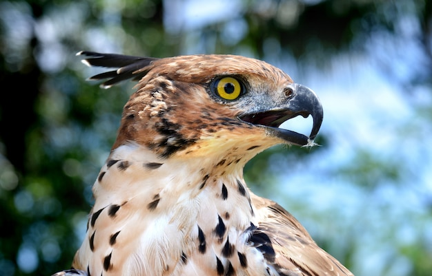 Head focus of the changeable hawk eagle