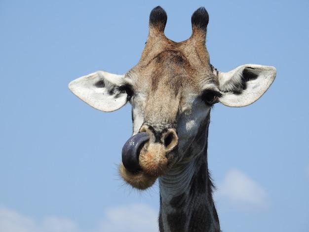 Testa di una giraffa con la lingua fuori sotto la luce del sole di giorno nel kruger national park