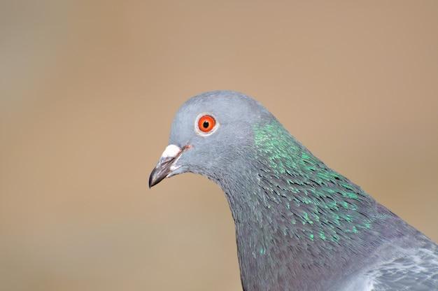 Head gray pigeon close up.