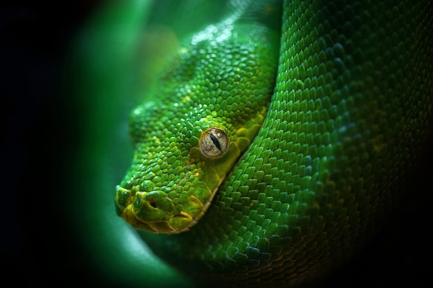 The head of the green boa.