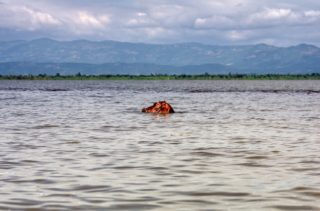 The head of a hippopotamus hovers above the water in lake tana of ethiopia with mountains in the background. travel and adventure concept